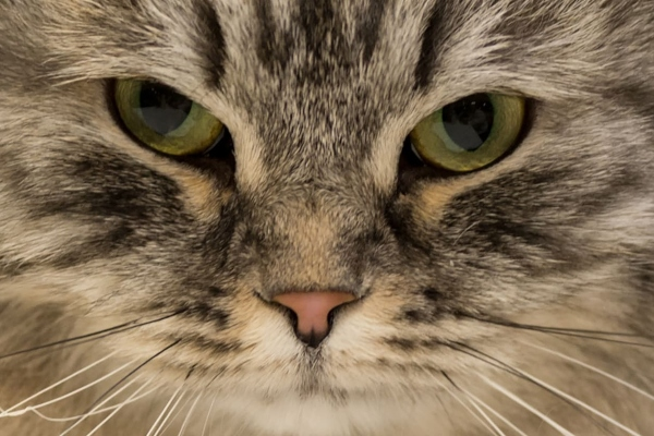 Mačka uhvaćena prilikom krijumčarenja droge pobegla iz zatvora na Šri Lanci