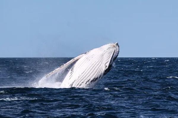 Grbavi kit progutao čoveka u Americi i katapultirao ga u vazduh
