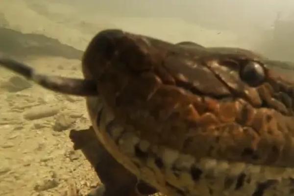 Bliski susret sa anakondom dugačkom sedam metara