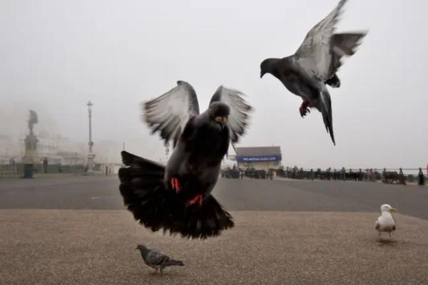 Golubovi kamikaze istrenirani kako bi zaustavili terorističke napade